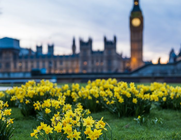 houses of parliament with daffodils in the foreground